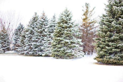 Pine Trees, Evergreens, Snow In Pine Trees, Winter