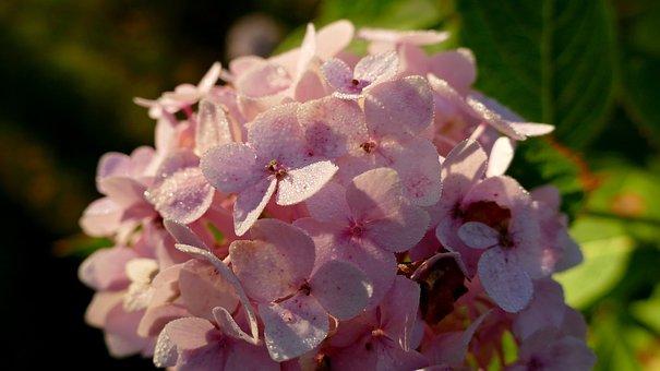Hydrangea, Garden, Flower Garden, Flower