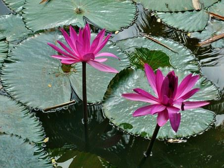 Water, Lily, Pink, Nature, Flower, Plant, Lotus, Beauty