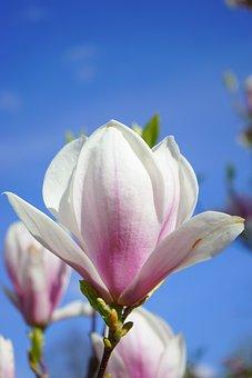 Magnolia, Magnolia Blossom, Flowers, Pink, White