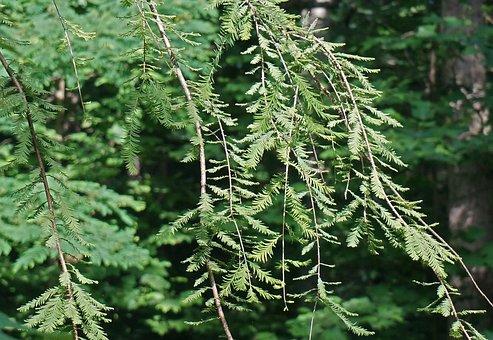 Dawn Redwood, Ornamental Tree, Spring Growth, Green