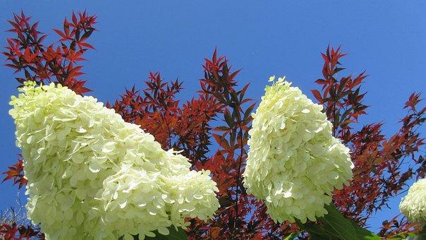 Hydrangea, Flower, Maple Leaf, Blue Sky, Nature