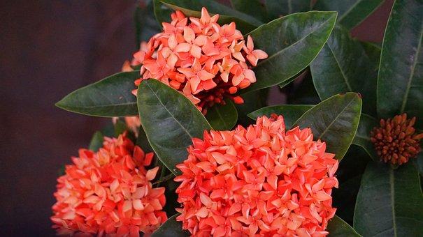 Hydrangea, Red Flowers, Intensive