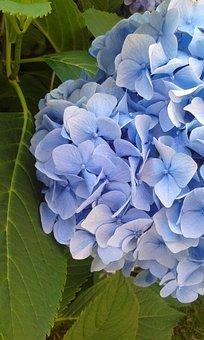 Blue, Green, Flower, Sheet, Hydrangea, Nature