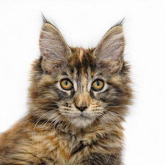 Maine Coon, Cat, Young Cat, Cat Face, Maine Coon Cat
