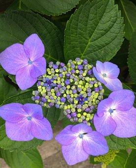 Hydrangea, Flowers, Purple, Red Purple, Pastel, Green