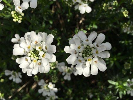 Candytuft, White, Stone Garden, Perennials, Semi Shrub