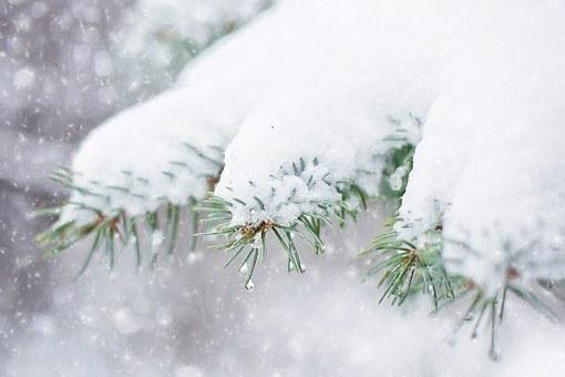Snow In Pine Tree, Pine Branch, Winter, Snow, Tree