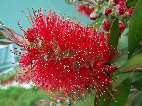 Bottlebrush, Tree, Plant, Callistemon, Flower, Red