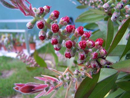 Bottlebrush, Tree, Plant, Callistemon, Flower, Red