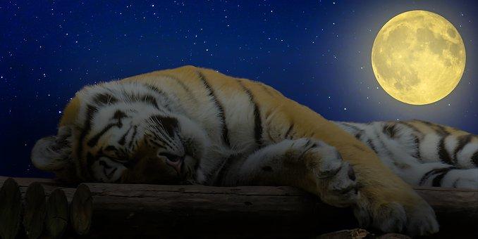 Tiger, Sleep, Good Night, Cat, Rest, Relaxation, Break