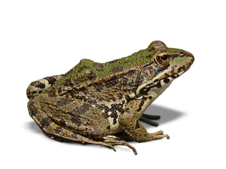 Frog, Batrachian, Transparent Background, Cropped Image