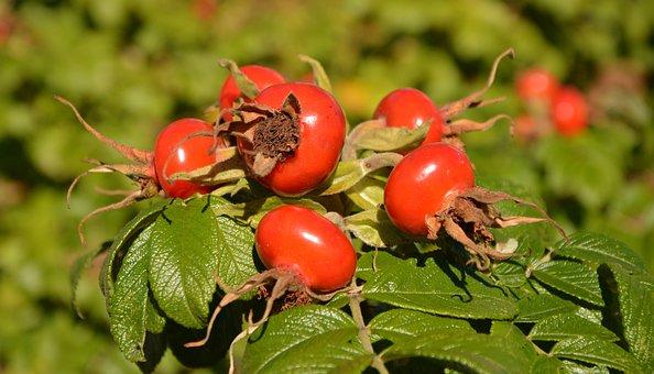 Rose Hip, Wild Rose, Fruit, Autumn, Bush