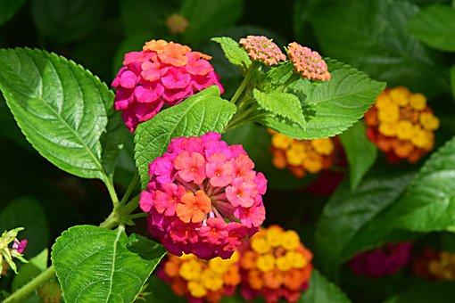 Goat Flower, Blossom, Bloom, Multi Coloured, Bud