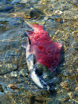 Salmon, Salmon Run, Adams River, Clear Water, Spawning