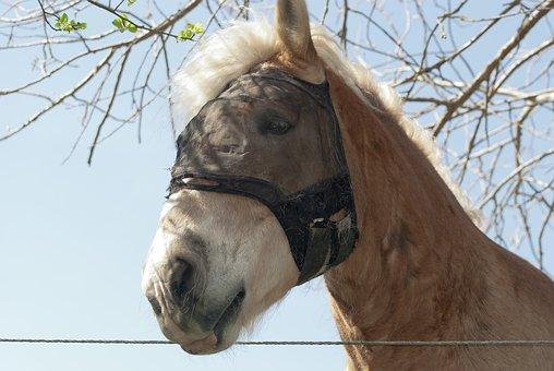 Farm Horse, Draft Horse, Horse, Stallion