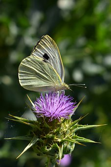 Butterfly, Pieris, Insect, Thistle, White, Nature