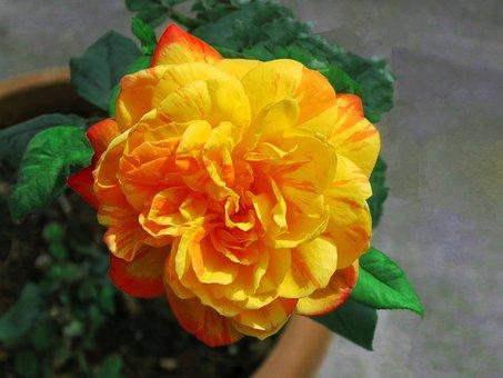 Multi-color, Natures Multi-color, Rose