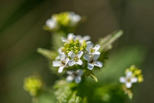 Urtica, Stinging Nettle, Nettle Flowering, Nature