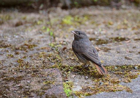 Rotschwaenzchen, Black Redstart, Sparrow, Sperling