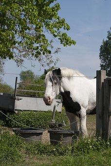 Work Horse, Belgian Draft Horse