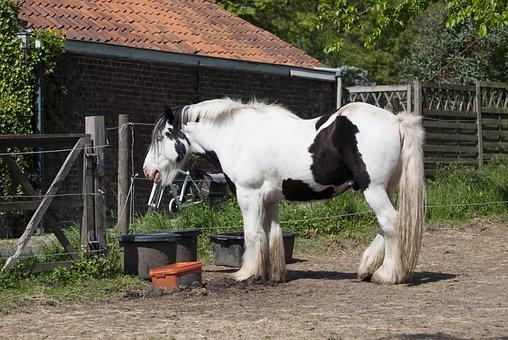 Work Horse, Belgian Draft Horse, Stallion