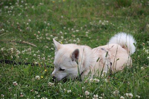 Buhund, Dog, Summer, Field, Clover