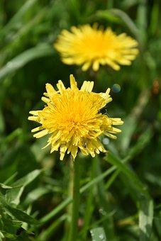 Flower, Dandelion, Yellow Flower, Flower Petals