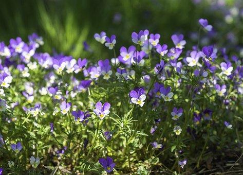 Wild Pansies, Viola Tricolor, Wild, Spring, Flower