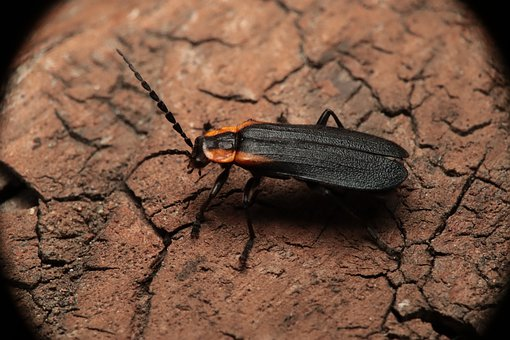 Insect, Garden, Nature, Beetle