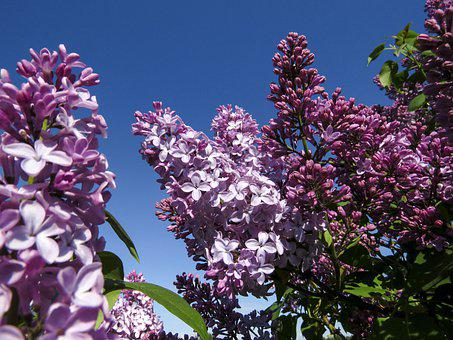 Flowers, Lilac, Bloom, Nature, Flora