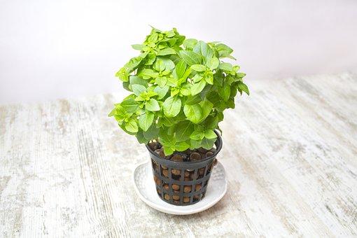 Basilicum, Ocimum Basilicum, Little, Leaf, Green