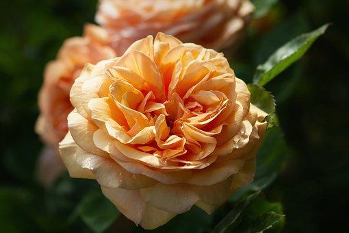 Nature, Flowers, Roses, English Rose, Austin Rose