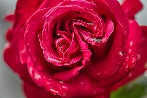 Rose, Blossom, Bloom, Individual, Flower, Raindrop