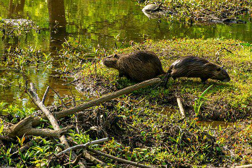 Nutria, Rodents, Aquatic Rodents, Animal, Water, Nature