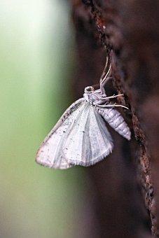 Nature, Environment, Butterfly, Moth, Alder White Meter