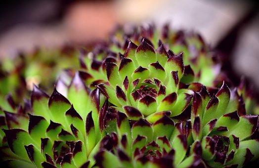 Succulents, Stone Wurz, Stone Garden, Plant, Houseleek