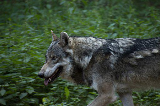 Wolf, Run, Forest, Fur, Animal, Nature, Predator
