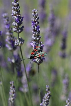 Six-Spot Burnet Moth, Lavender, Moth