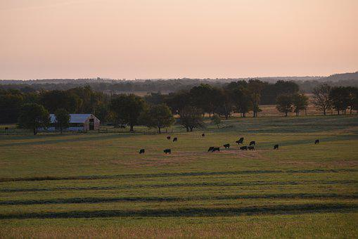 Farm, Cows, Cattle, Barn, Dawn, Field