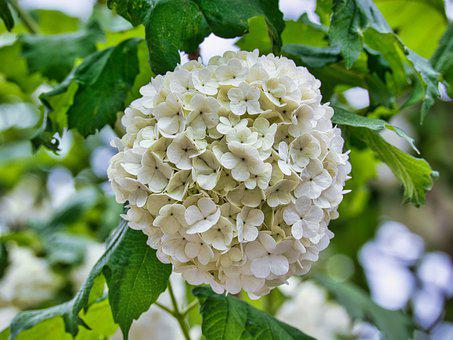 Snow Ball, Blossom, Bloom, White, Spring, Close Up