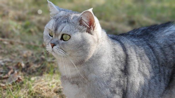 Cat, Portrait, Cat Portrait, Gray Cat, Curious