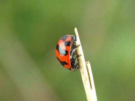Ladybug, Ladybug On A Tree Branch, Red Ladybug