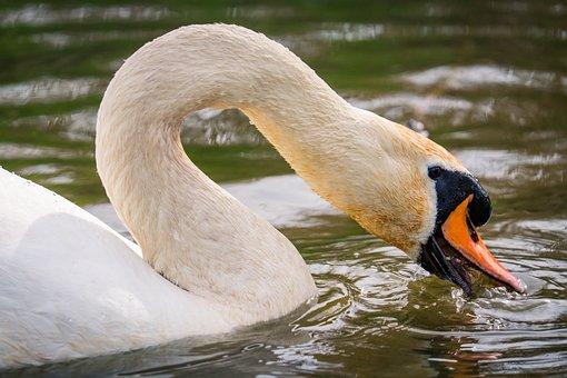 Swan, Neck, Beak, Bird, White, Lake, Lagoon
