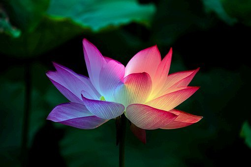 Lotus Flower, Lotus, Rainbow, Colorful, Flower, Floral