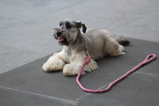 Schnauzer, Dog Training, Stay, Calm, Dog, Perro, Trust