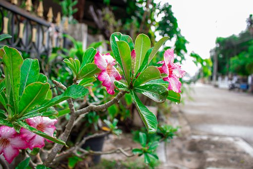 Plant, Thailand, The Pink Flowers, Nature, Pink, Flora