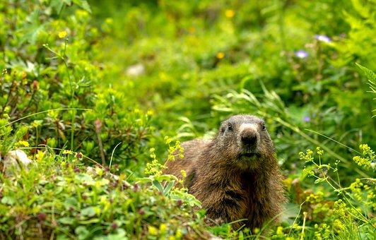 Marmot, Manggei, Alm, Summer In The Hills