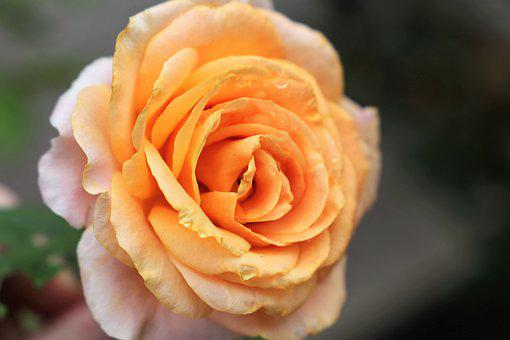 Yellow Rose Golden Medal, Fresh, Blooming, Plant