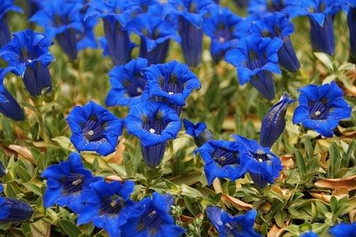 Gentian, Alpine, Flower, Blue, Montana, Flora, Gentiana